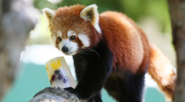 Yasmina, a female red panda, eyes up an ice block with frozen fruits inside, at Dublin Zoo (Brian Lawless/PA)