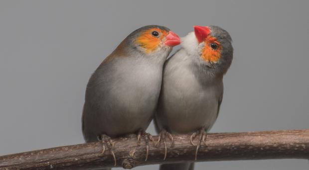 Orange-cheeked waxbills at Chester Zoo (Chester Zoo/PA)
