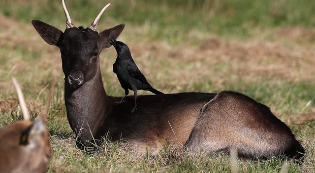 Twenty-five deer were culled at Dublin's Phoenix Park on Thursday (Brian Lawless/PA).