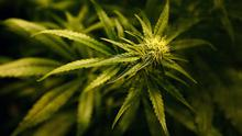 The cannabis plants have a street value of 240,000 euro.