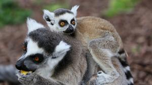 One of the twin ring tailed lemur pups clings to it's mother's back at Tayto Park (Brian Lawless/PA)
