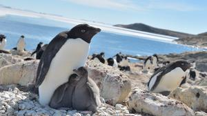 Some 175 penguins were tagged with GPS devices, accelerometers and video cameras by researchers at Japan's National Institute of Polar Research (Yuuki Watanabe/National Institute of Polar Research, Japan/PA)