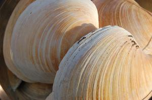 Quahog clam shells were studied (University of Exeter/PA)