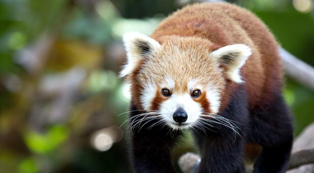Red pandas are classified as endangered on the International Union for Conservation of Nature Red List (Marie Holding/Getty Images/PA)