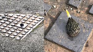 The starling stuck in the drain cover (RSPCA/PA)