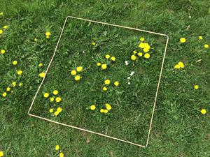 An 'every flower counts' survey quadrat with 31 dandelions and six daisies, which produce enough to support 10 honeybees for a day (Trevor Dines/Plantlife/PA)