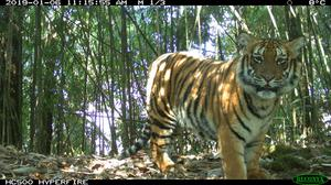 A camera trap image of Rewa tiger family in Jigme Single Wangchuck National Park, Bhutan (JSWNP / DoFPS/ WWF-Bhutan/PA)