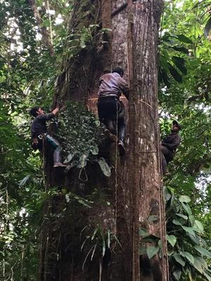 Measuring giant Ceiba in the Choco rainforest, Colombia(Pauline Kindler/Col-Tree)