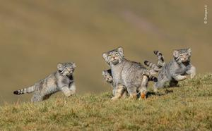 A rare shot of Pallas's cats (Shanyuan Li/Wildlife Photographer of the Year 2020)