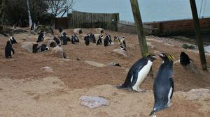 Undated handout photo issued by Living Coasts of penguins at TorquayÕs coastal zoo and aquarium where most of the bachelors are to move to another zoo in order to give the paired birds peace and privacy for breeding.