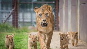 Five lion cubs with their mother Dakota on their first day out in the outdoor paddock (Woburn Safari Park/PA)
