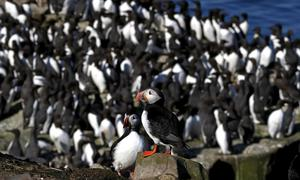 Around 44,000 pairs of puffins have been counted on the Farne Islands (Owen Humphreys/PA)