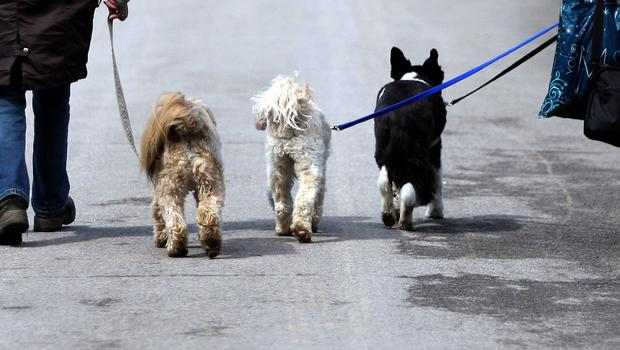 Walking too many dogs can result in a fine.  (stock image)