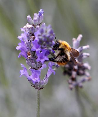 Do your bit for the bees by growing lavender (Peter Byrne/PA)