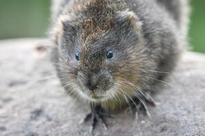 Water voles are endangered as numbers continue to decline (Ben Birchall/PA)