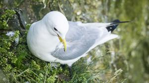 Kittiwakes are among the species struggling (Danny Lawson/PA)