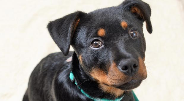 Zeena the puppy needed urgent treatment after eating a double pack of bourbon biscuits (PDSA/PA Wire)