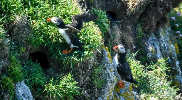 Puffins stay close to their burrows among the cliff faces on Lundy island (Ben Birchall/PA)