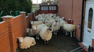 West Yorkshire Police had an unusual job rescuing sheep on Saturday morning (West Yorkshire Police/PA)