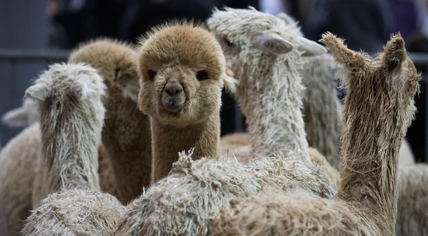 Paul Rippon said he would be getting more involved in the family business, Barnacre Alpacas (Aaron Chown/PA)
