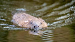 Conservation groups are calling for an 'ambitious' strategy for beavers in England (Ben Birchall/PA)