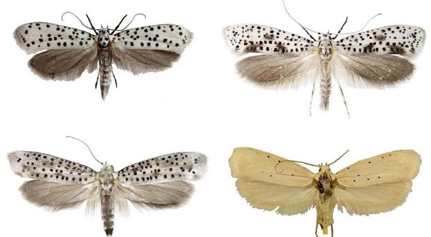 New species of moth Yponomeutidae horologa, Yponomeutidae onyxella, Yponomeutidae oromiensis and Yponomeutidae octocentra from eastern Africa were discovered in 2019 (Natural History Museum/PA)