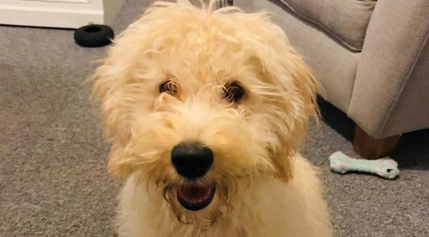 Waffle is a labradoodle puppy (Devon and Cornwall Police/PA)