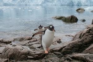 Gentoo penguins also rely on krill for food (Daniel Beltra/Greenpeace/PA)