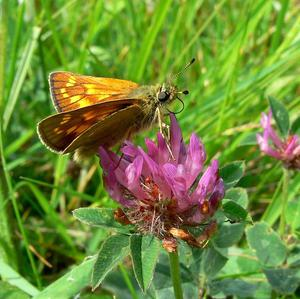 A large skipper butterfly, one of the farmland species which thrived in last year's warm summer after the appalling weather in 2012 (Butterfly Conservation)