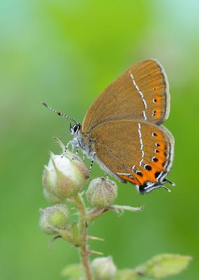 Black hairstreak butterflies had a record year in 2018 (Iain H Leach/Butterfly Conservation/PA)