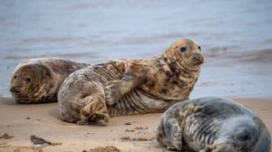 Some of the estimated 2,500 Atlantic grey seals on Horsey Beach in Norfiolk, where they gather every year to moult their worn out fur and grow new sleeker coats (Joe Giddens/ PA)