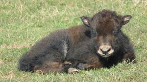 Whipsnade Zoo's new yak calf will be named after a Harry Potter character once its sex has been determined (ZSL Whipsnade Zoo/PA)