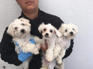 Three Maltese puppies smuggled from Romania (Dogs Trust/PA)