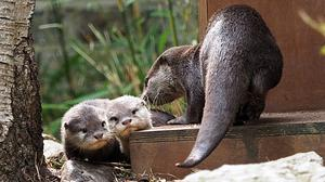 Baby otters Bubble and Squeak have ventured into public view this week (ZSL London Zoo)