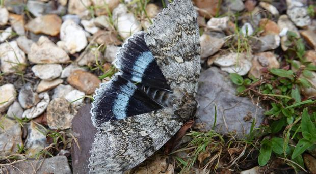 The Clifden nonpareil saw its highest numbers for 25 years (Alex Raeder/National Trust/PA)