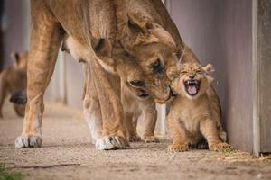 One of the five lion cubs with their mother Dakota (Woburn Safari Park/PA)