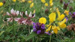 Short grass lawn with bird's-foot trefoil, selfheal and clover (Trevor Dines/Plantlife/PA)