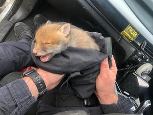 Bobby was handed over to The Fox Project, a charity devoted to rehabilitating and fostering foxes for release in the wild (Southwark Police/PA)