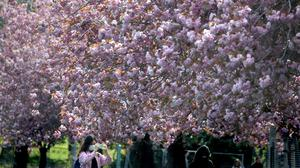 Members of the public photograph the cherry blossom in the Meadows in Edinburgh as the UK continues in lockdown (