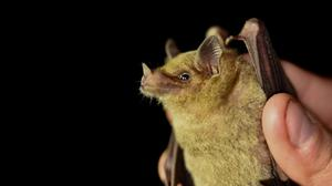 A close-up of a tequila bat in the Sonoran Desert in Mexico (Angelica Menchaca/University of Bristol/PA)