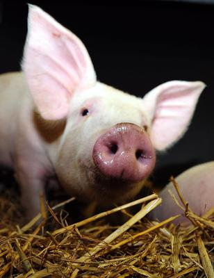 Farmed pigs are among animals researchers have said should be studied further (Owen Humphreys/PA)
