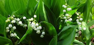 Lily-of-the-valley – one of the Queen's favourite flowers (Buckingham Palace/PA)