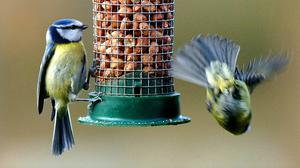 Blue tits feeding in a country garden in North Yorkshire (John Giles/PA)