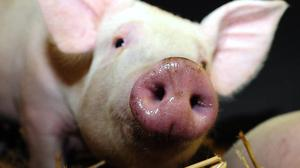 Police have issued an appeal over stolen piglets (Owen Humphreys/PA)