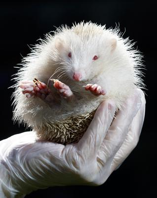 Jack Frost, an ultra rare albino Hedgehog, that has been rescued by Prickly Pigs Hedgehog Rescue in Otley, West Yorkshire (Danny Lawson/PA)