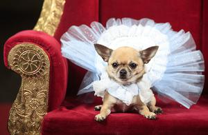 Dolly the Chihuahua as Alice in Wonderland (Danny Lawson/PA)
