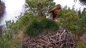 The first osprey of the season has returned to a Perthshire nesting site (Scottish Wildlife Trust/PA)