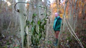 A young tree shows wilting leaves, a symptom of the deadly plant pathogen Chalara fungus