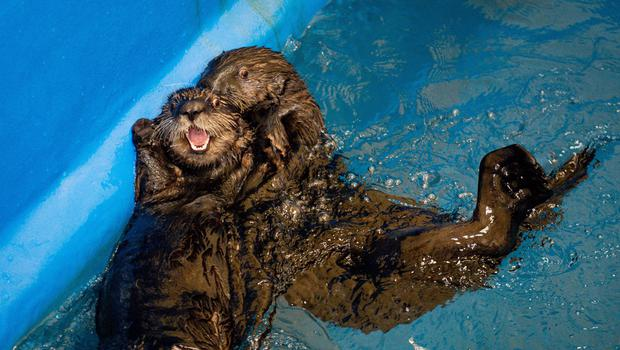 The otters are coming to Birmingham. (Jacob King/PA)