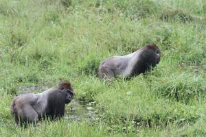 The dominant males of two different western gorilla groups feed peacefully together in Mbeli Bai forest clearing (Wildlife Conservation Society)